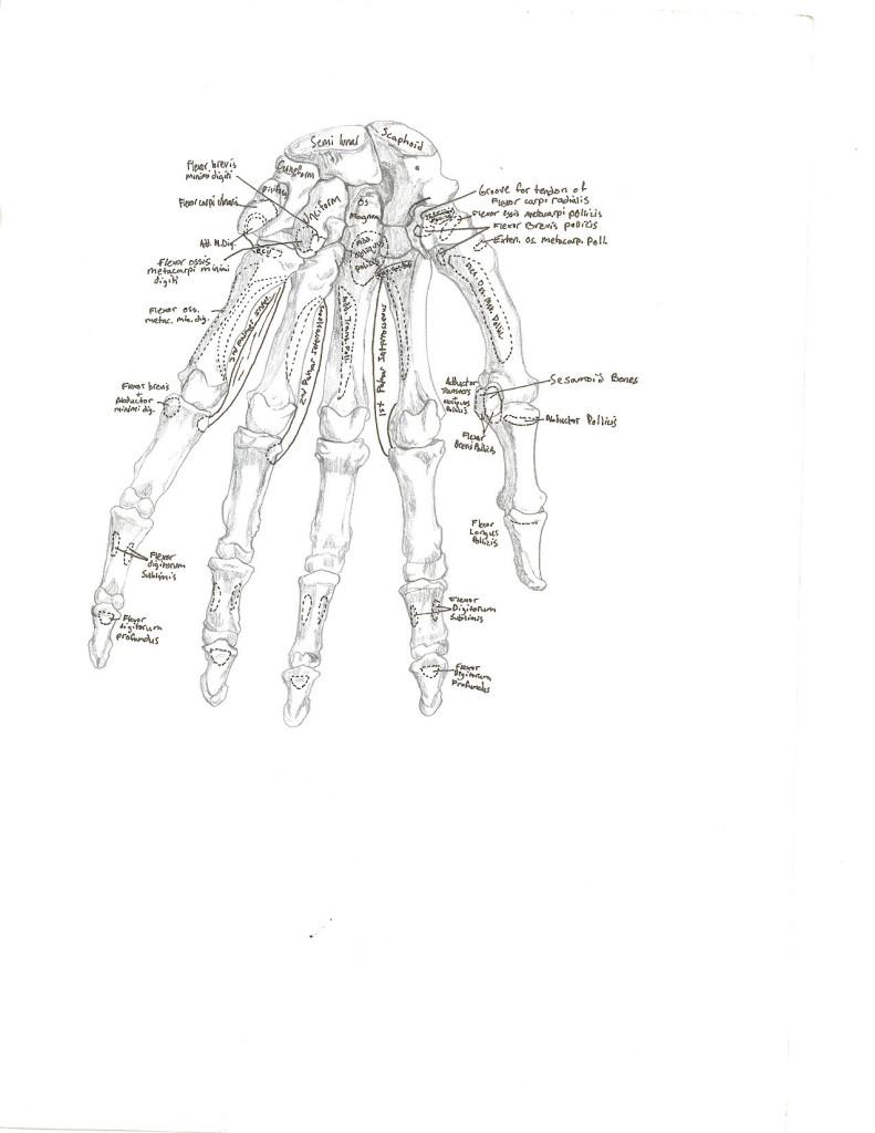 hand - anterior