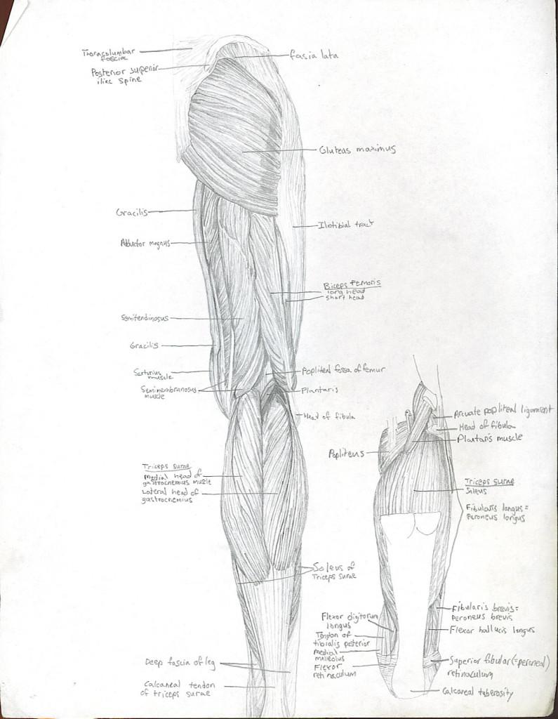 leg - posterior