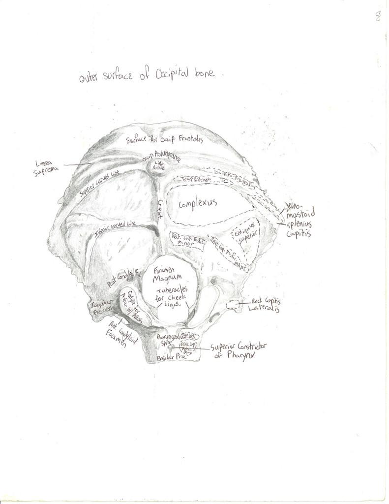 skull - occipital bone - outer surface