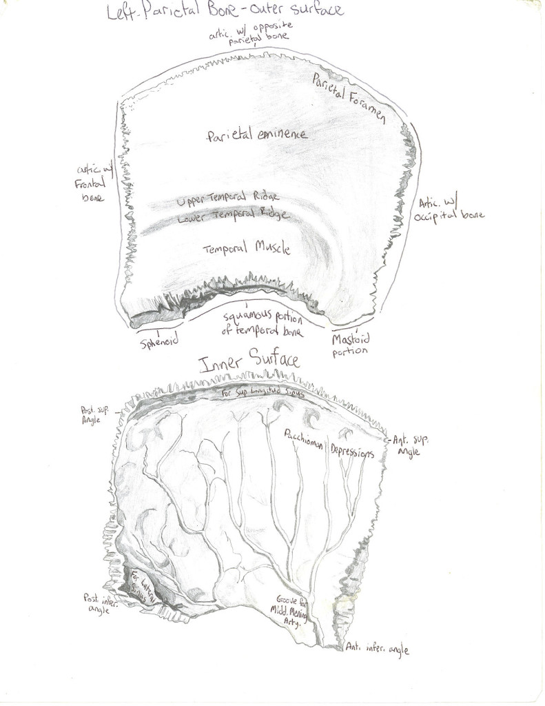 skull - parietal bone