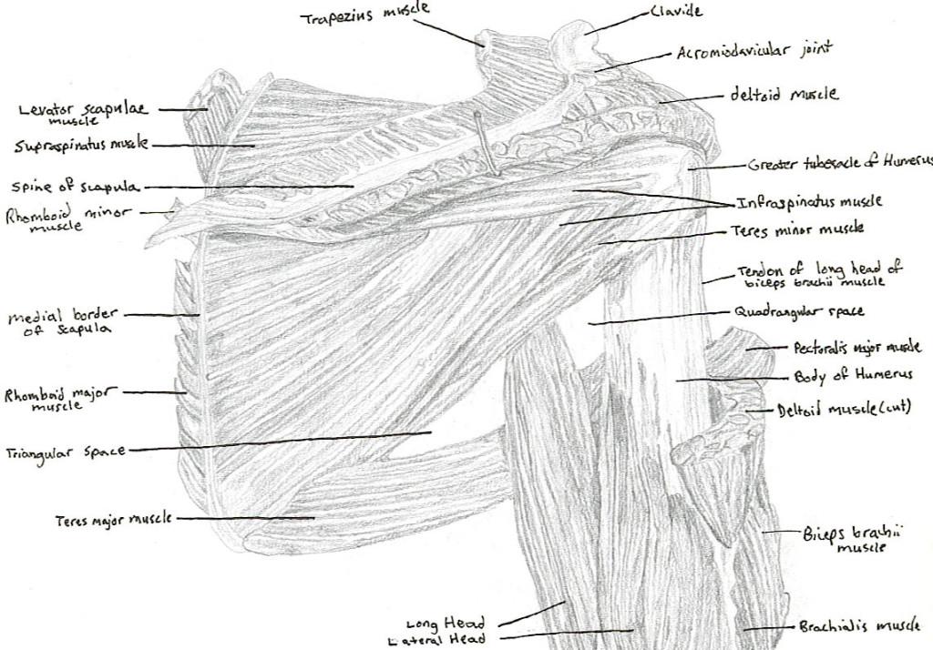 shoulder - anterior