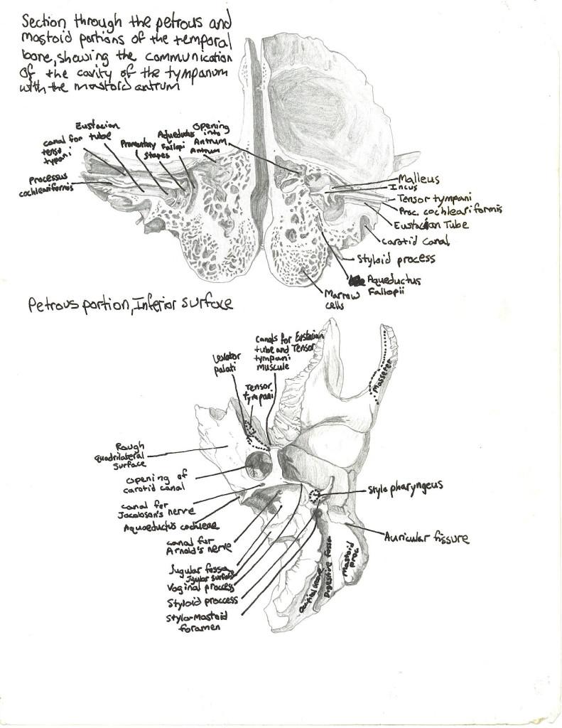 skull - temporal bone