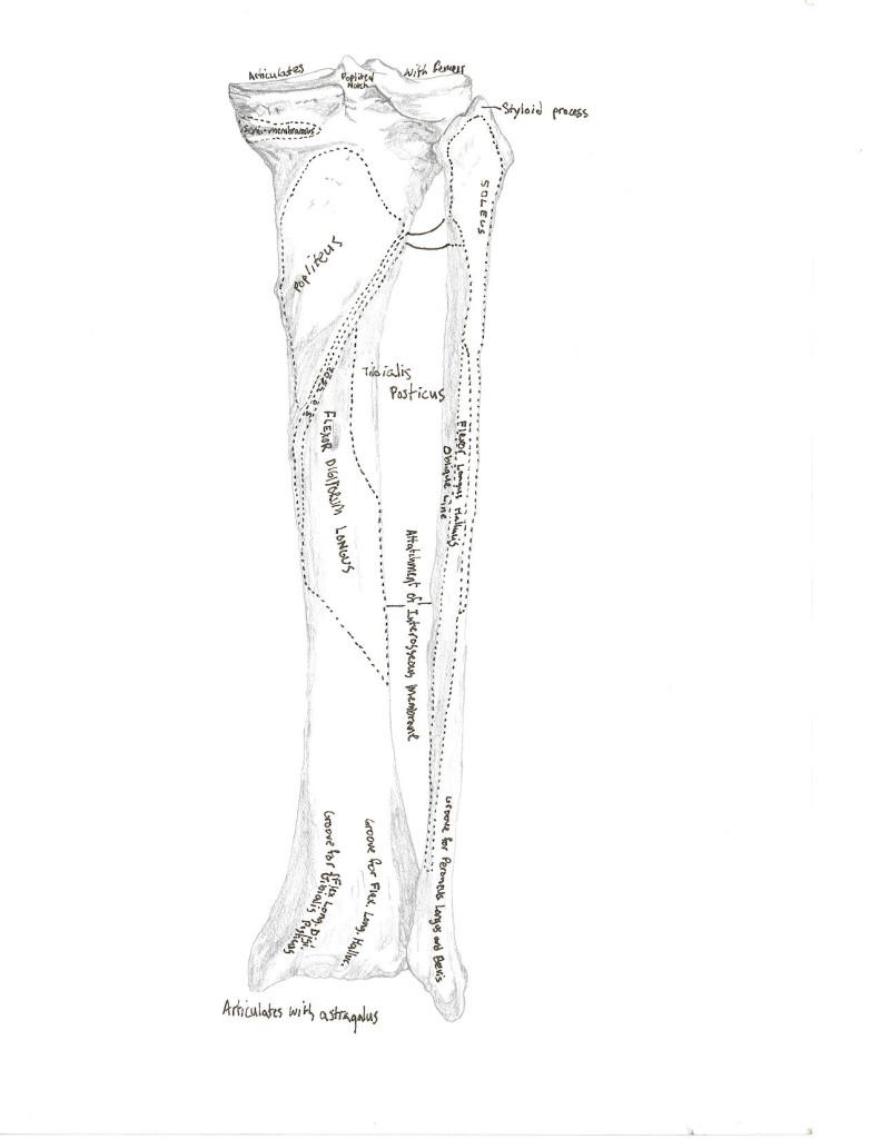 tibia fibula 2
