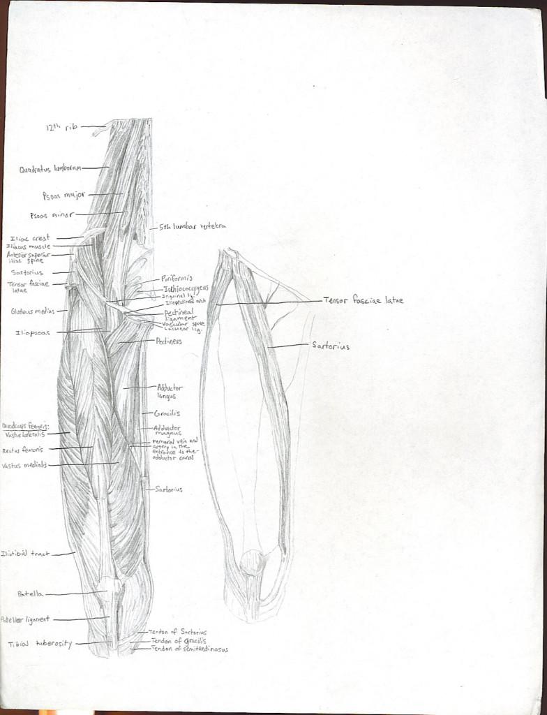 upper leg