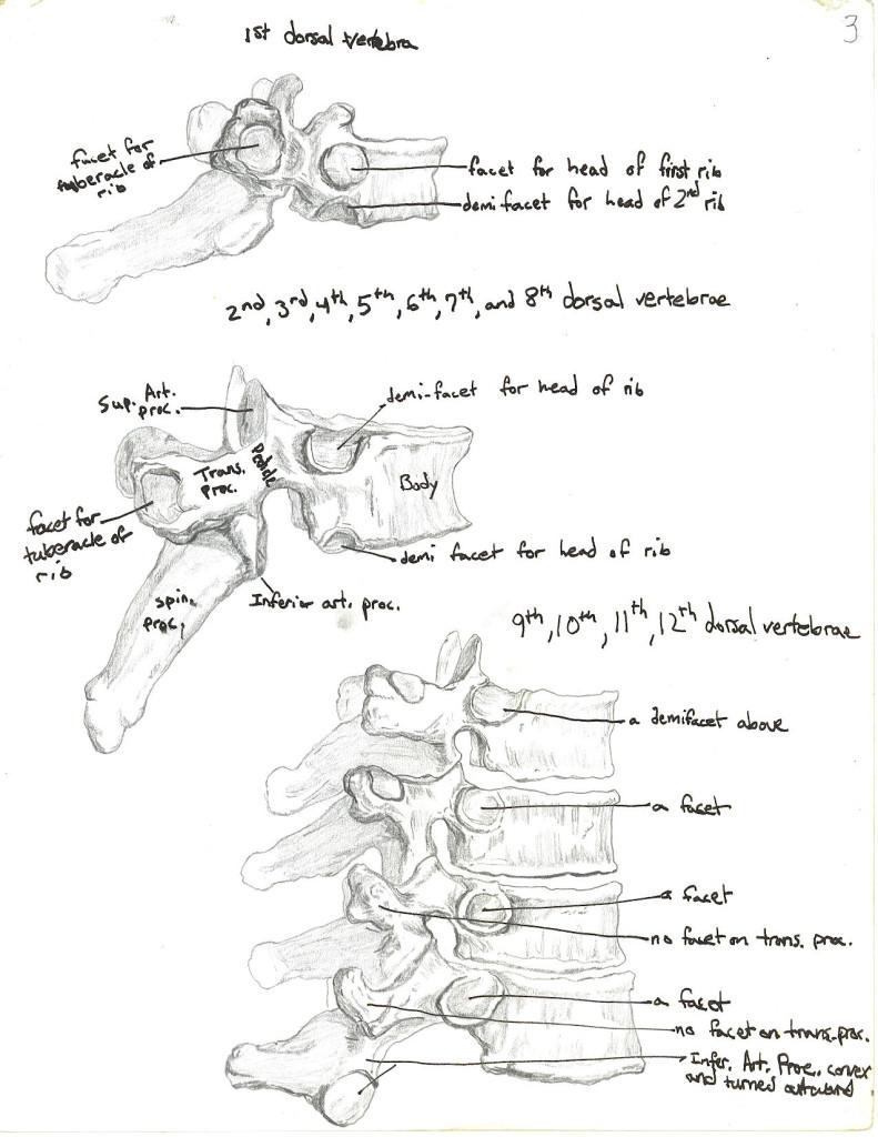 dorsal vertebrae